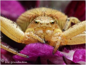 http://www.waibe.fr/sites/photoeg/medias/images/ARAIGNEES/2013-araignee_crabe_01b.jpg