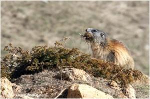 http://www.waibe.fr/sites/photoeg/medias/images/FAUNE_MONTAGNE/marmotte_100.jpg