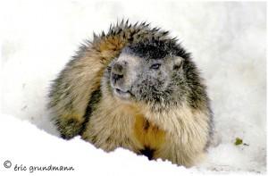 http://www.waibe.fr/sites/photoeg/medias/images/FAUNE_MONTAGNE/marmotte_3.jpg
