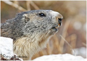 http://www.waibe.fr/sites/photoeg/medias/images/FAUNE_MONTAGNE/marmotte_50.jpg