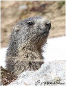 http://www.waibe.fr/sites/photoeg/medias/images/FAUNE_MONTAGNE/marmotte_63.jpg