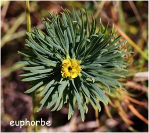http://www.waibe.fr/sites/photoeg/medias/images/FLORE/Dun_euphorbe_fleur.jpg
