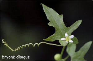 http://www.waibe.fr/sites/photoeg/medias/images/FLORE/bryone_dioique.jpg