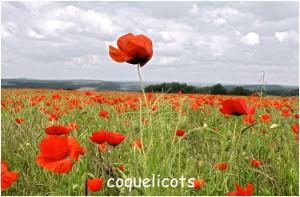 http://www.waibe.fr/sites/photoeg/medias/images/FLORE/coquelicots_champs_01.jpg