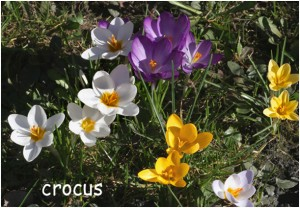 http://www.waibe.fr/sites/photoeg/medias/images/FLORE/crocus10.jpg