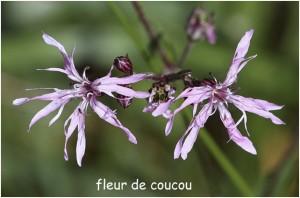 http://www.waibe.fr/sites/photoeg/medias/images/FLORE/fleur_de_coucou-.jpg