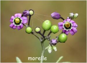 http://www.waibe.fr/sites/photoeg/medias/images/FLORE/morelle.jpg
