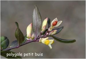http://www.waibe.fr/sites/photoeg/medias/images/FLORE/polygale_petit_buis__3_.jpg