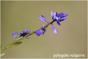 http://www.waibe.fr/sites/photoeg/medias/images/FLORE/polygale_vulgaire.jpg