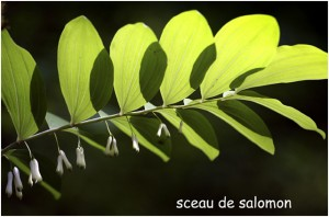 http://www.waibe.fr/sites/photoeg/medias/images/FLORE/sceau_de_salomon.jpg
