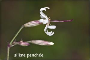 http://www.waibe.fr/sites/photoeg/medias/images/FLORE/silene_penchee_10.jpg