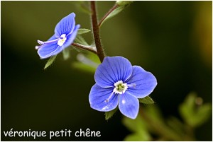 http://www.waibe.fr/sites/photoeg/medias/images/FLORE/veronique_petit_chene-.jpg