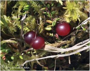 http://www.waibe.fr/sites/photoeg/medias/images/FLORE_HUMIDE/canneberge_fruits.jpg