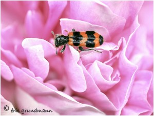 http://www.waibe.fr/sites/photoeg/medias/images/INSECTES/COL-clairon__3_.jpg