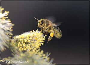 http://www.waibe.fr/sites/photoeg/medias/images/INSECTES/abeille__.jpg