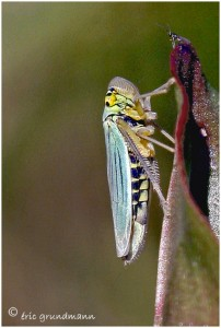http://www.waibe.fr/sites/photoeg/medias/images/INSECTES/homoptere-cicadelle__9_.jpg