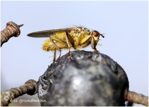 http://www.waibe.fr/sites/photoeg/medias/images/INSECTES/mouche_scatophage_14.jpg