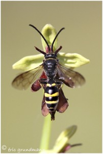 http://www.waibe.fr/sites/photoeg/medias/images/INSECTES/orchis_mouche___insecte_02.jpg