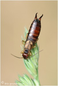 http://www.waibe.fr/sites/photoeg/medias/images/INSECTES/pince-oreille_02.jpg