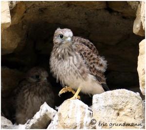 http://www.waibe.fr/sites/photoeg/medias/images/OISAUX/faucon_045.jpg