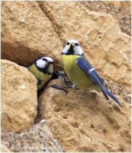 http://www.waibe.fr/sites/photoeg/medias/images/OISAUX/mesanges_bleues_couple_10-18x24.jpg
