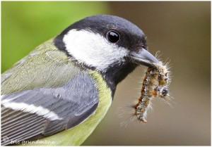 http://www.waibe.fr/sites/photoeg/medias/images/OISAUX/mesenge_charbo_insecte.jpg