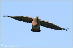 http://www.waibe.fr/sites/photoeg/medias/images/OISAUX/pigeon_ramier_S.jpg