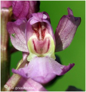 http://www.waibe.fr/sites/photoeg/medias/images/ORCHIDEES/2013-orchis_male_12.jpg