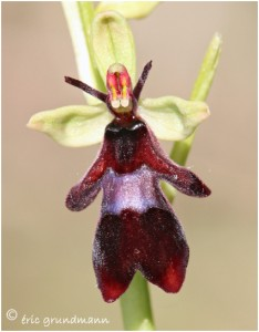 http://www.waibe.fr/sites/photoeg/medias/images/ORCHIDEES/2014-ophrys_mouche_02.jpg