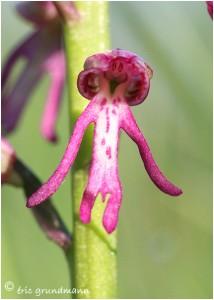http://www.waibe.fr/sites/photoeg/medias/images/ORCHIDEES/bonhomme_orchidee_02.jpg