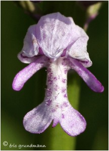 http://www.waibe.fr/sites/photoeg/medias/images/ORCHIDEES/orchidees__17_.jpg