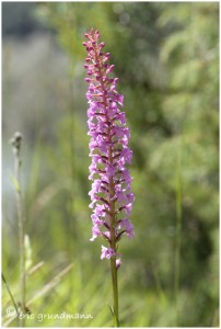 http://www.waibe.fr/sites/photoeg/medias/images/ORCHIDEES/orchis_moustique_2012-01.jpg