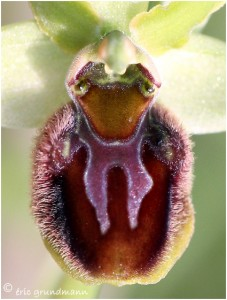http://www.waibe.fr/sites/photoeg/medias/images/ORCHIDEES/orcis_tete_03.jpg