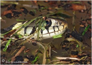 http://www.waibe.fr/sites/photoeg/medias/images/REPTILES/couleuvre_010.jpg