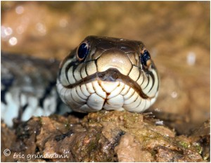 http://www.waibe.fr/sites/photoeg/medias/images/REPTILES/couleuvre_07c.jpg