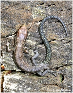 http://www.waibe.fr/sites/photoeg/medias/images/REPTILES/lezard_014b.jpg
