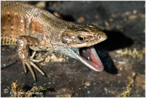 http://www.waibe.fr/sites/photoeg/medias/images/REPTILES/lezard_65.jpg