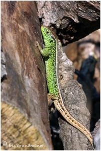 http://www.waibe.fr/sites/photoeg/medias/images/REPTILES/lezard_des_souches_01.jpg