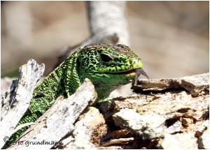 http://www.waibe.fr/sites/photoeg/medias/images/REPTILES/lezard_des_souches_011b.jpg