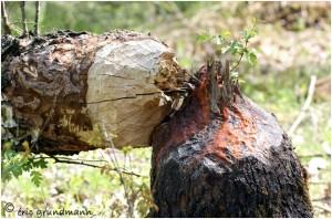 http://www.waibe.fr/sites/photoeg/medias/images/RONGEURS/arbre_ronge.jpg