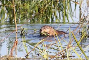 http://www.waibe.fr/sites/photoeg/medias/images/RONGEURS/rat_musque_01.jpg