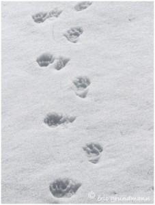 http://www.waibe.fr/sites/photoeg/medias/images/TRACES/marmotte_traces.jpg
