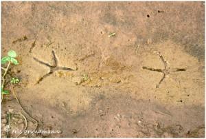 http://www.waibe.fr/sites/photoeg/medias/images/TRACES/traces_oiseaux_09.jpg