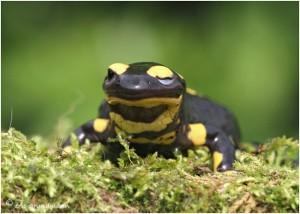 http://www.waibe.fr/sites/photoeg/medias/images/__HIDDEN__galerie_1/salamandre_044c.jpg