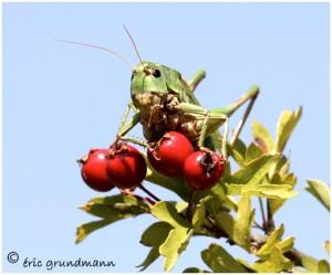 http://www.waibe.fr/sites/photoeg/medias/images/__HIDDEN__galerie_7/dectis_verrucifore_01b.jpg