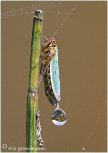http://www.waibe.fr/sites/photoeg/medias/images/new_nature/2012-cicadelle_03gc.jpg