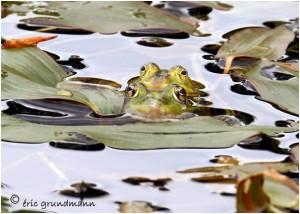 http://www.waibe.fr/sites/photoeg/medias/images/new_nature/2012-grenouilles_01.jpg