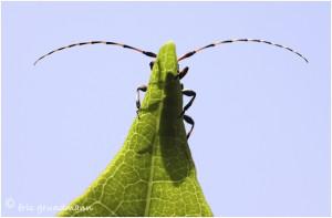http://www.waibe.fr/sites/photoeg/medias/images/new_nature/COL-monochamus_galloprovincialis_04.jpg