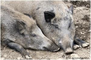 http://www.waibe.fr/sites/photoeg/medias/images/new_nature/cochon_42_2x30_2.jpg