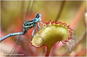 http://www.waibe.fr/sites/photoeg/medias/images/new_nature/drosera_120.jpg